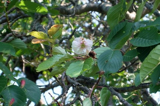 10桜くるい咲き.JPG
