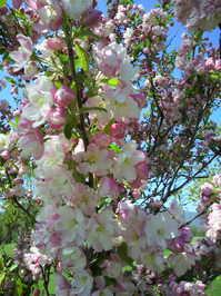 小樽の桜.jpg