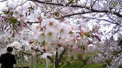 sakura.jpg.jpg