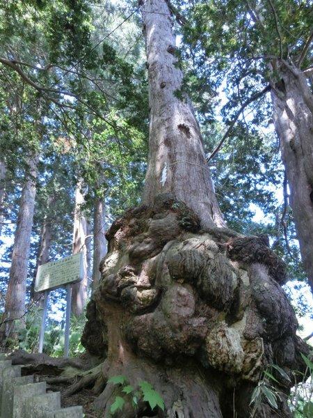 05木のコブ.JPG